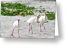 Three White Ibis Walking On The Beach Greeting Card