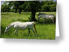 Three White Lipizzan Horses Grazing In A Field At The Lipica Stu Greeting Card