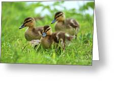 Three Wild Mallard Ducklings Greeting Card