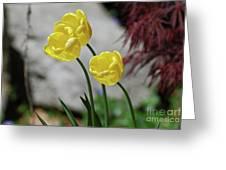 Three Yellow Garden Tulips Flowering In Spring Greeting Card