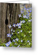 Thyme-leaved Bluets - D008426 Greeting Card