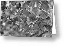 Tibouchina In Black And White Greeting Card