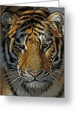 Tiger 5 Posterized Greeting Card