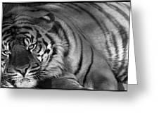 Tiger Eyes White Greeting Card