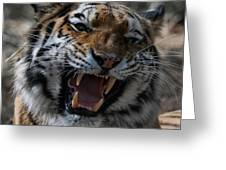 Tiger Faces 2 Greeting Card