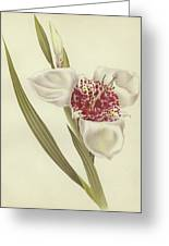 Tiger Flower   Tigridia Pavonia Alba Greeting Card