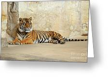Tiger Resting Greeting Card