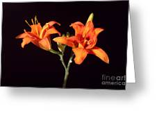 Tiger Lily Flower Opening Part Greeting Card