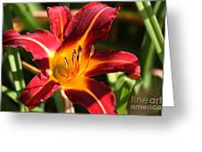 Tiger Lily0064 Greeting Card