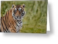 Tiger Look Greeting Card