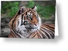 Sumatran Tigress Portrait  Greeting Card