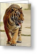 Tiger Pacing Greeting Card