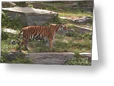 Tiger Stroll Greeting Card