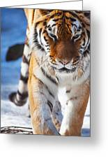 Tiger Strut Greeting Card