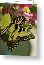 Tiger Swallowtail Butterfly On Begonia Bloom         June            Indiana Greeting Card
