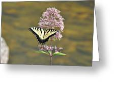 Tiger Swallowtail Butterfly On Common Milkweed 1 Greeting Card