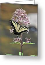 Tiger Swallowtail Butterfly On Common Milkweed 2 Greeting Card