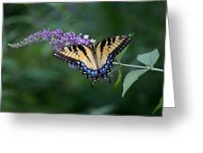 Tiger Swallowtail Female On Butterfly Bush Flowers Greeting Card