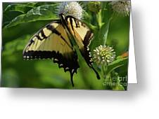 Tiger Swallowtail On Button Bush Greeting Card