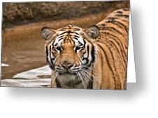 Tiger Wading Stream Greeting Card