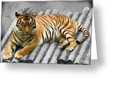 Tigers Look Greeting Card