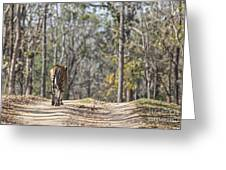 Tigress Walking Along A Track In Sal Forest Pench Tiger Reserve India Greeting Card