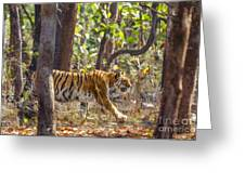 Tigress Walking Through Sal Forest In Pench Tiger Reserve  India Greeting Card