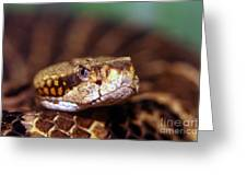 Timber Rattler Coil Greeting Card