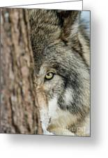 Timber Wolf Picture - Tw285 Greeting Card