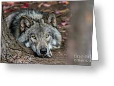 Timber Wolf Picture - Tw286 Greeting Card