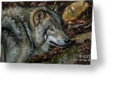 Timber Wolf Picture - Tw417 Greeting Card