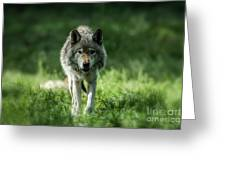 Timber Wolf Picture - Tw69 Greeting Card