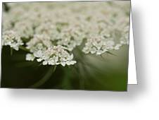 Tiny Cluster Of Queen Anne's Lace Greeting Card