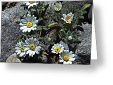Tiny White Flowers In The Gravel Greeting Card