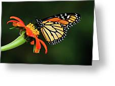 Tithonia Loving Monarch Greeting Card
