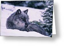 T.kitchin, 19552c Gray Wolf, Winter Greeting Card