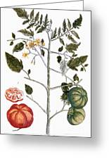 Tomato Plant, 1735 Greeting Card