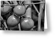 Tomatoes On The Vine Bw Greeting Card