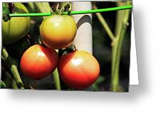 Tomatoes Ripening On The Vine Greeting Card