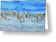 Topsail Skimmers Greeting Card