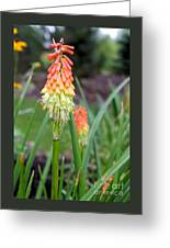 Torch Lily Flower Greeting Card