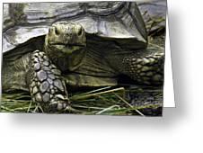 Tortoise's Stare Greeting Card