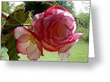 Translucent Begonia Greeting Card