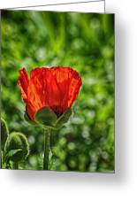 Translucent Poppy Greeting Card