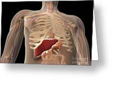 Transparent View Of Human Torso Showing Greeting Card