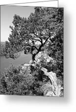 Tree On Mount Bonnell Greeting Card