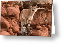 Treed Mountain Lion Greeting Card