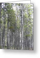 Trees In The Absarokee Beartooth Wilderness Area Greeting Card