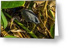 Tri-color Heron 5 Greeting Card