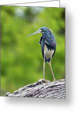 Tri-color Heron Greeting Card